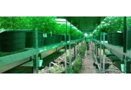 Cannabis legale, la cassazione si pronuncia sui sequestri se il THC è inferiore al 0,5%